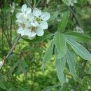 Image of <i>Pyrus salicifolia</i> Pall.