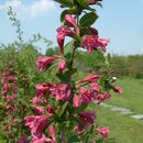 Image of weigela