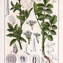 Image of <i>Tordylium maximum</i> L.