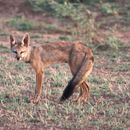 Image of Indian fox