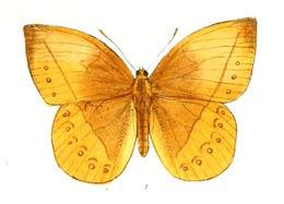 Image of <i>Aemona pealii</i> Wood-Mason 1880