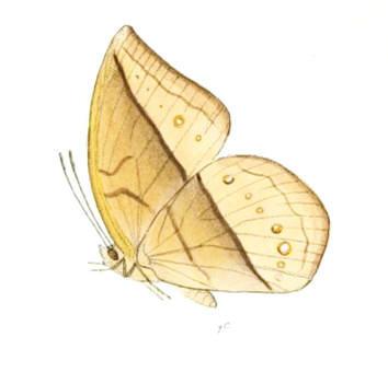 Image of <i>Aemona amathusia</i> Hewitson 1867