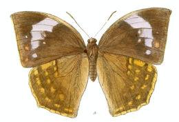 Image of <i>Discophora lepida</i> Moore 1857