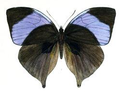 Image of <i>Amathuxidia amythaon</i> Doubleday 1847