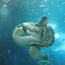 صورة <i>Mola mola</i> (Linnaeus 1758)