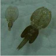 Image of salmon louse
