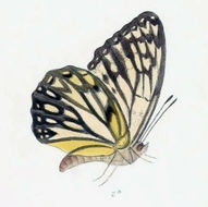 Image of <i>Hestina nicevillei</i> Moore 1896