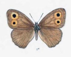 Image of <i>Hyponephele cheena</i>