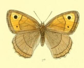 Image of <i>Hyponephele davendra</i> Moore 1865