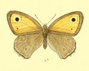 Image of <i>Hyponephele brevistigma</i>