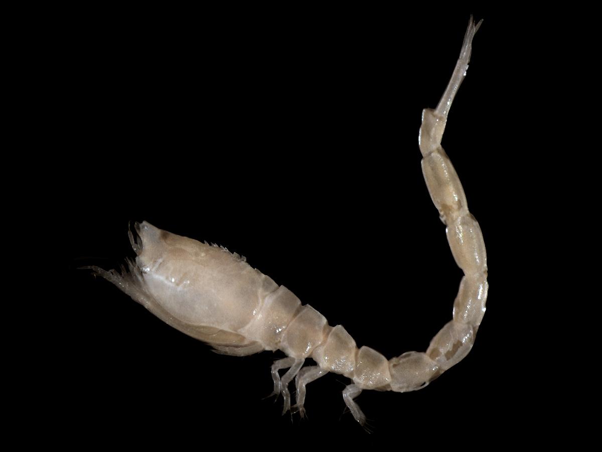 Image of <i>Iphinoe trispinosa</i> (Goodsir 1843)