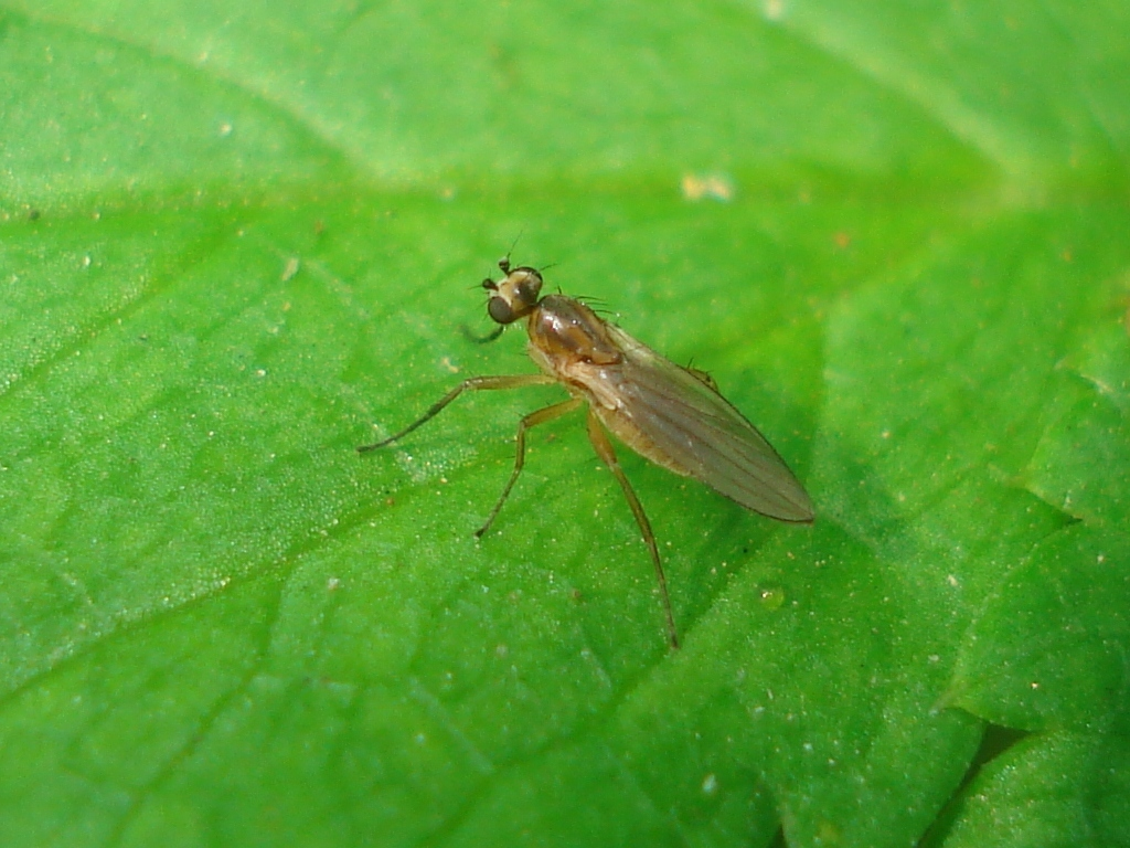Image of <i>Lonchoptera lutea</i> Meigen 1809