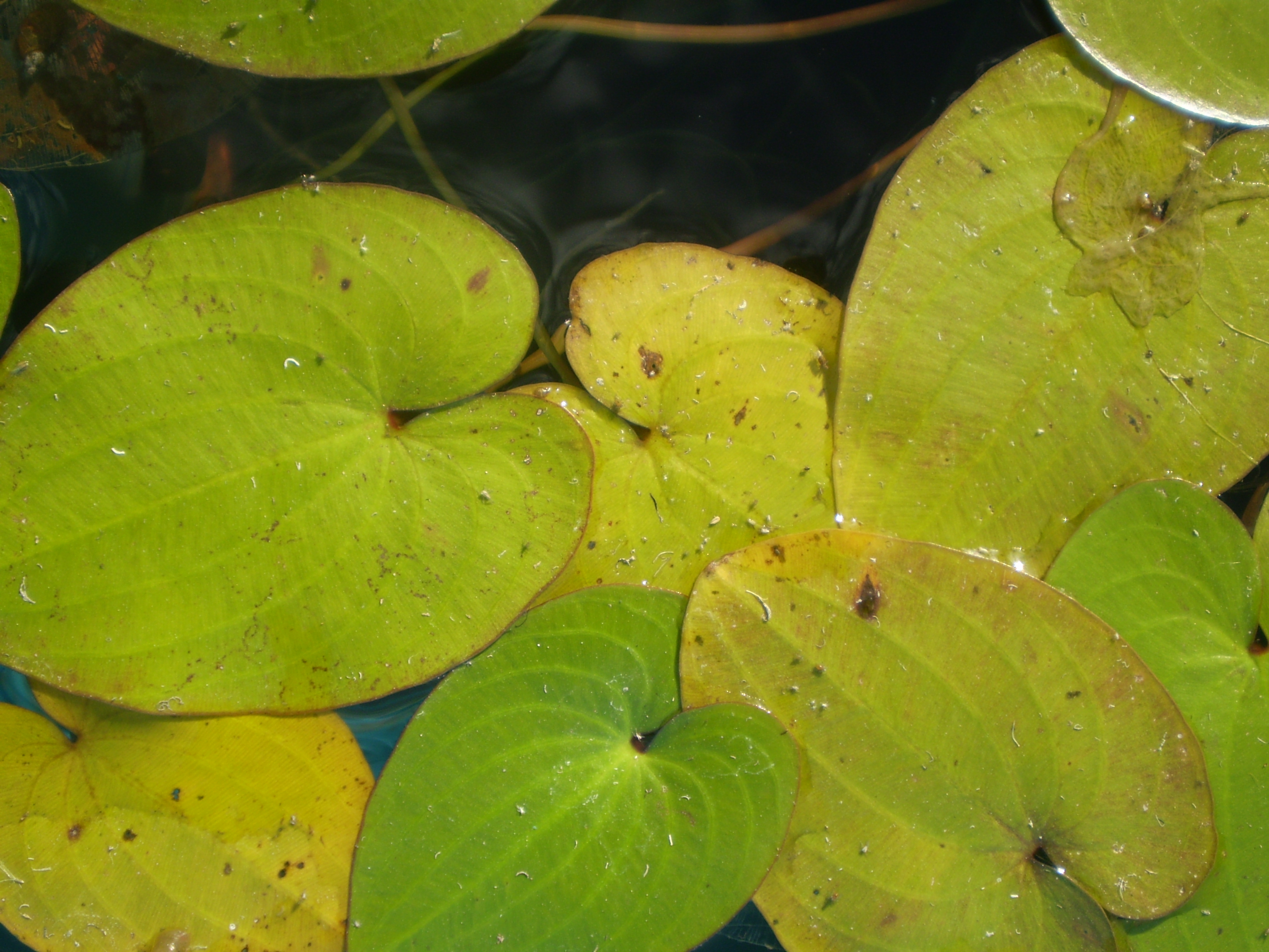 Image of Parnassus-leaved Water Plantain