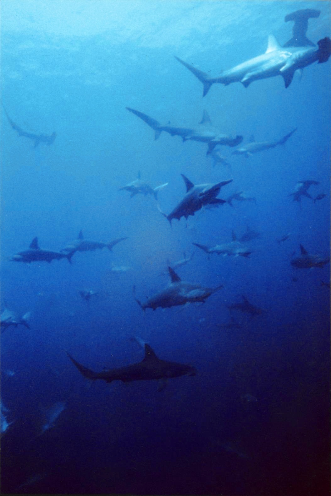 Image of Scalloped Hammerhead