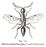 Image of bethylid wasps