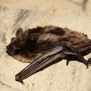 Image of Pond Bat