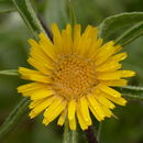 Image of Spiny Golden Star