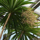 Image of Narrow-leaved Palm Lily