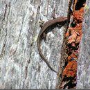 Image of Tasmanian Tree Skink