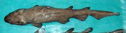 Image of Deepwater Catshark