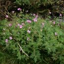 Image of Endres's cranesbill