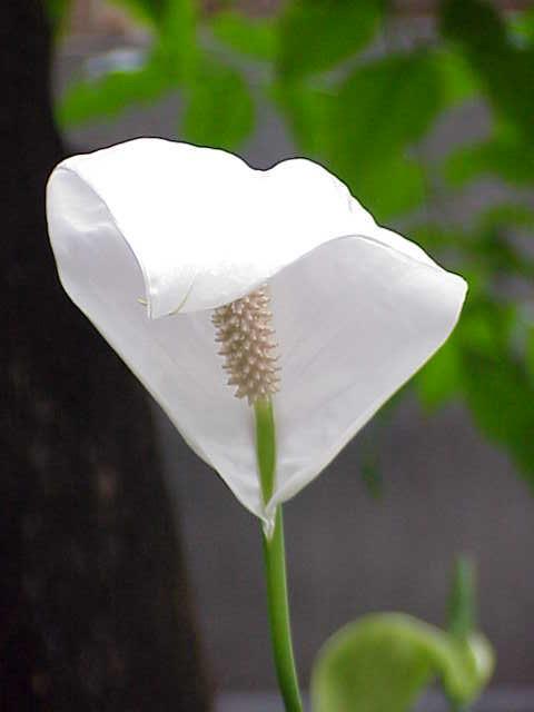 Image of <i>Spathiphyllum cochlearispathum</i> (Liebm.) Engl.
