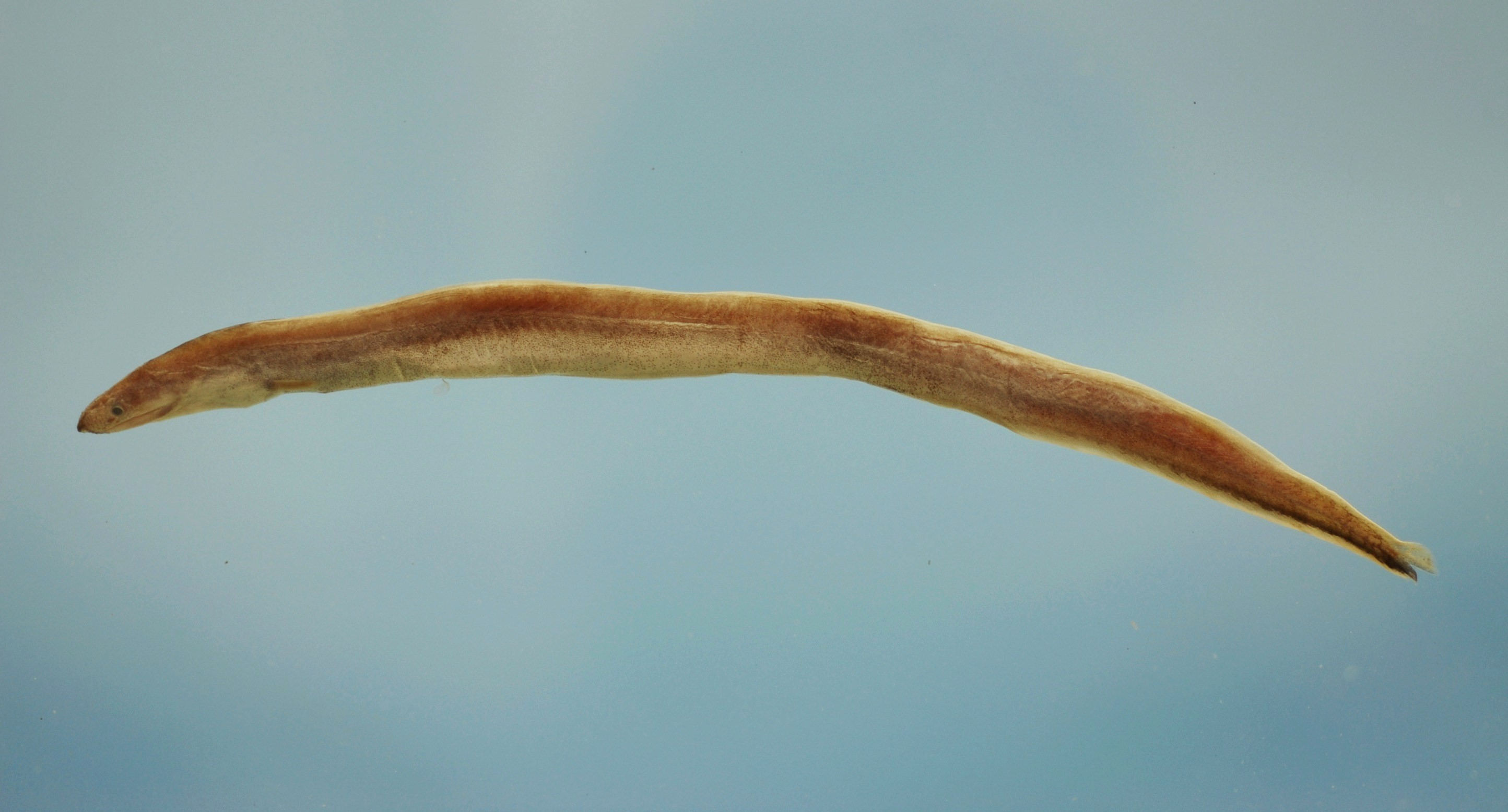 Image of Arrowtooth Eel