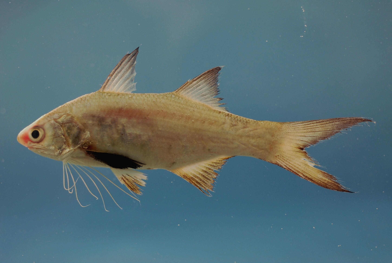 Image of Atlantic Threadfin