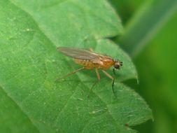 Image of <i>Lonchoptera bifurcata</i> (Fallen 1810)