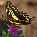 Image of <i>Papilio constantinus</i> Ward 1871