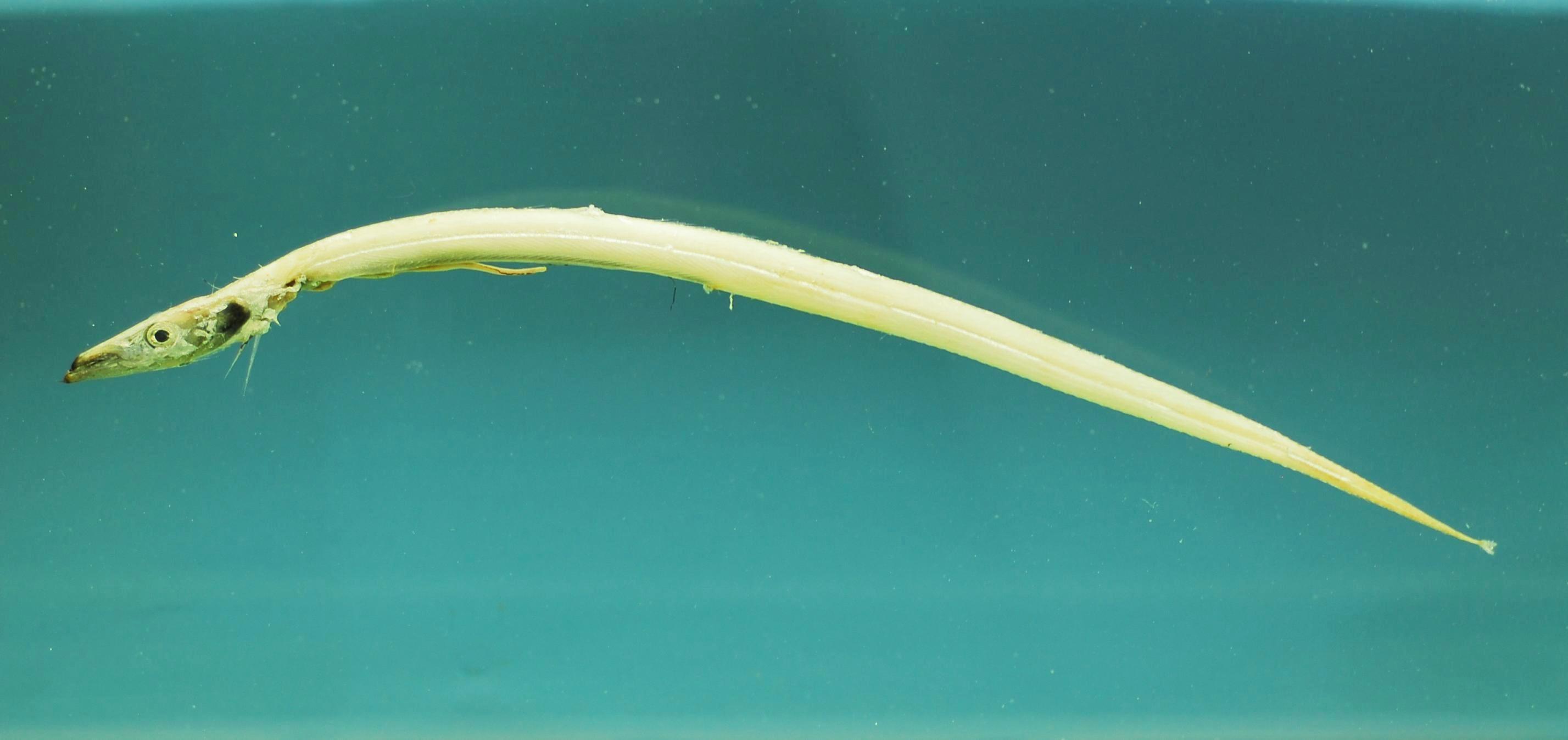 Image of Frostfish