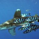 Image of Oceanic Whitetip Shark