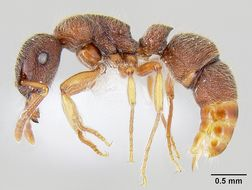 Image of <i>Heteroponera panamensis</i>