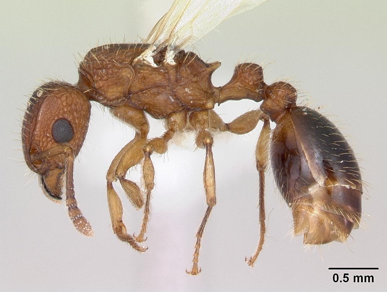 Image of Guinea ant
