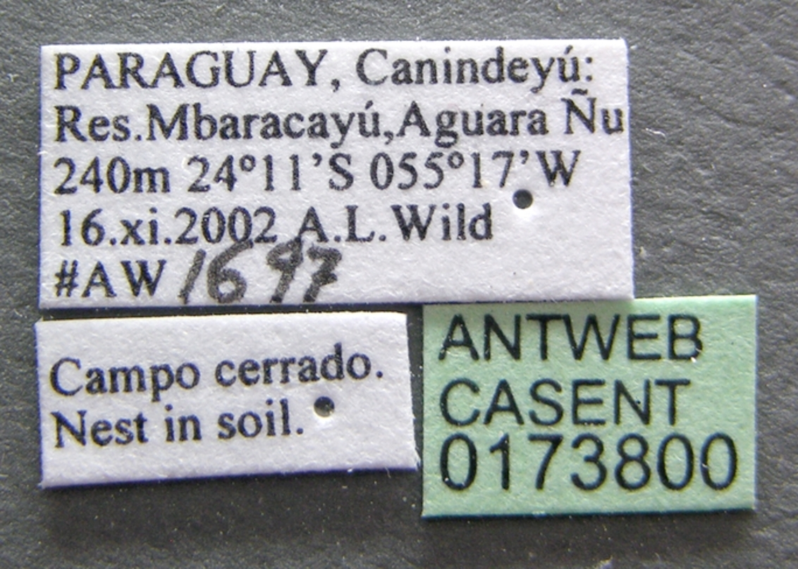 Image of <i>Acromyrmex nigrosetosus</i>
