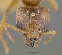 Image of <i>Philidris pubescens</i> (Donisthorpe 1949)