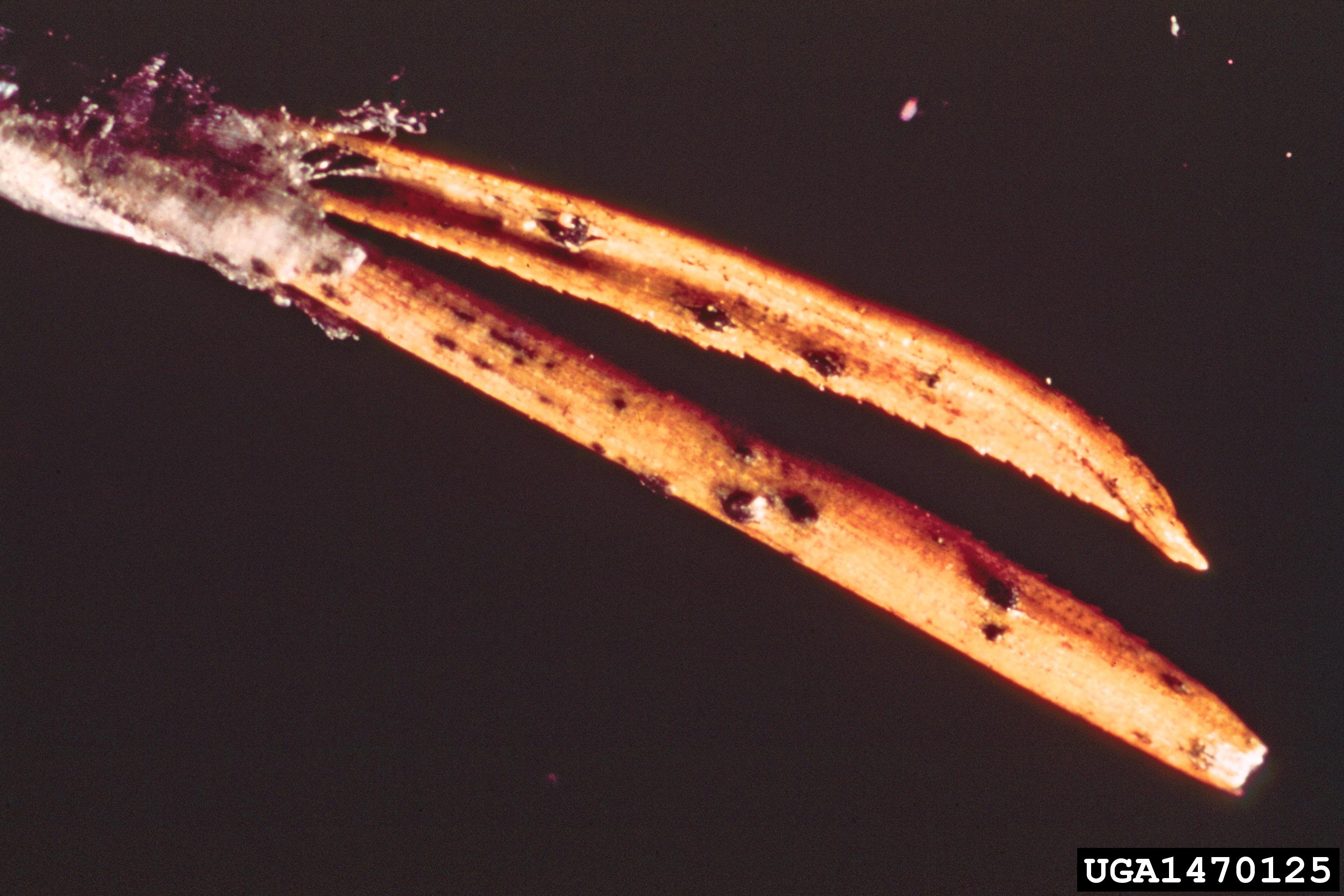 Image of Sphaeropsis blight