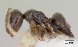 Image of <i>Bothriomyrmex paradoxus</i> Dubovikoff & Longino 2004