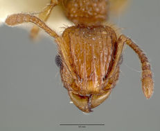Image of <i>Tetramorium insolens</i> (Smith 1861)