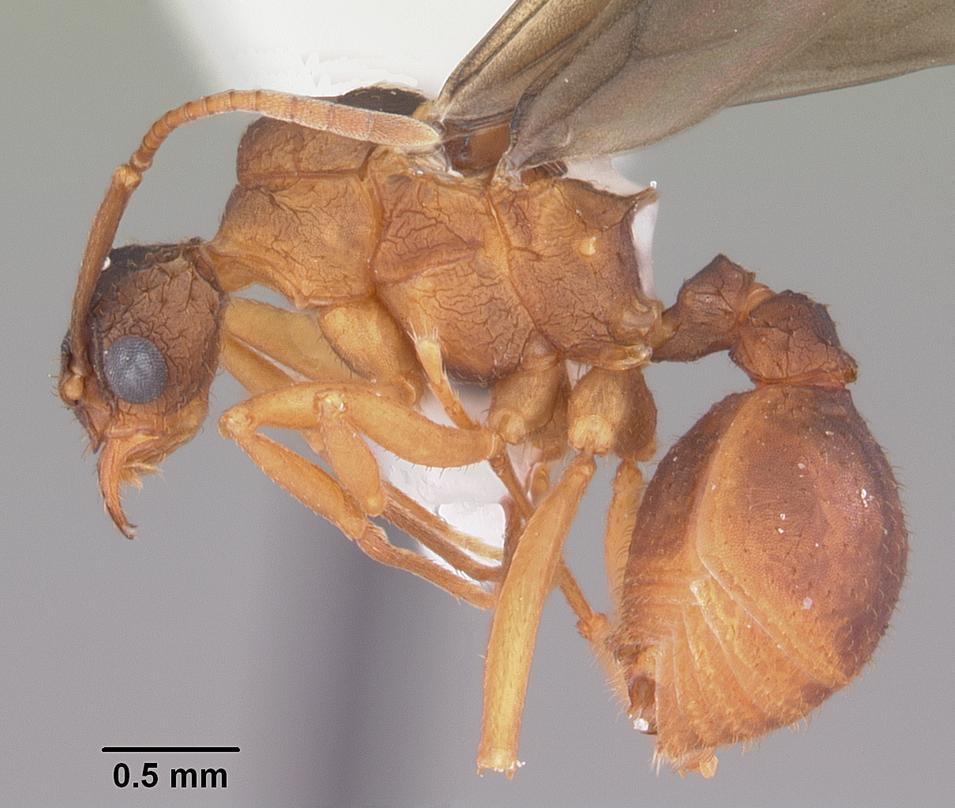 Image of Northern Fungus Farming Ant