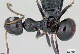 Image of <i>Lepisiota canescens</i> (Emery 1897)