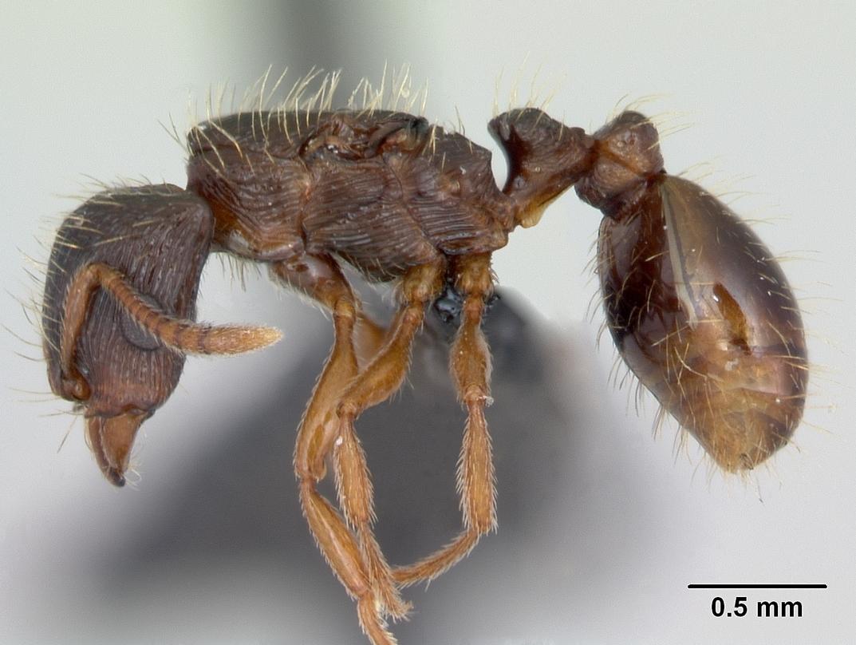 Image of <i>Strongylognathus testaceus</i> (Schenck 1852)