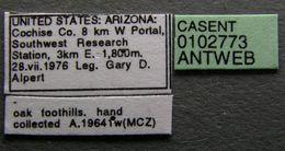 Image of <i>Lasius arizonicus</i>