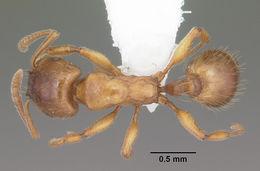 Image of <i>Strongylognathus caeciliae</i> Forel 1897