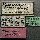 Image of <i>Phalacromyrmex fugax</i> Kempf 1960