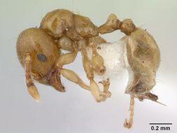 Image of <i>Allomerus decemarticulatus</i> Mayr 1878