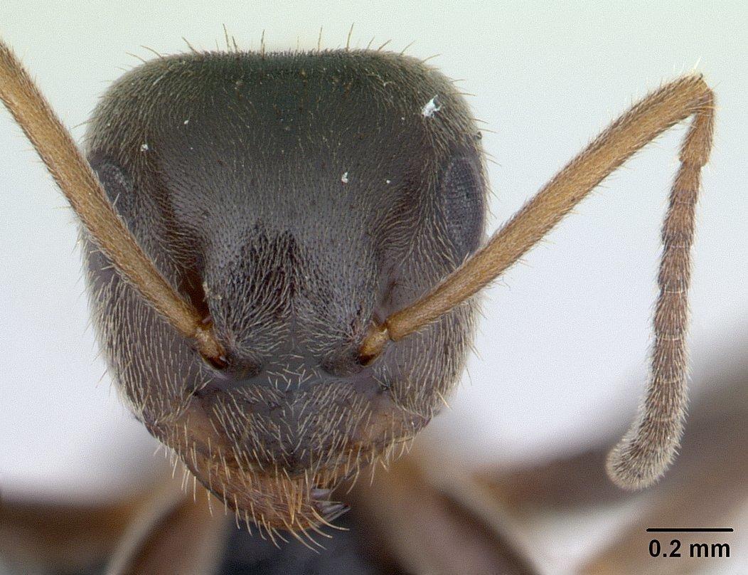 Image of Black garden ant