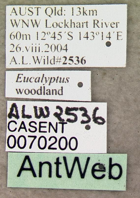 Image of <i>Papyrius nitidus</i> (Mayr 1862)