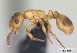 Image of Ravoux's Slavemaker Ant