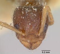 Image of <i>Bothriomyrmex atlantis</i> Forel 1894